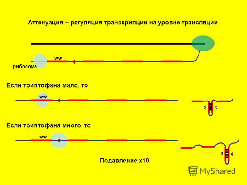 Аттенуация – регуляция транскрипции на уровне трансляции рибосома ww Если триптофана мало, то ww Если триптофана много, то 2 3 3 4 Подавление х10