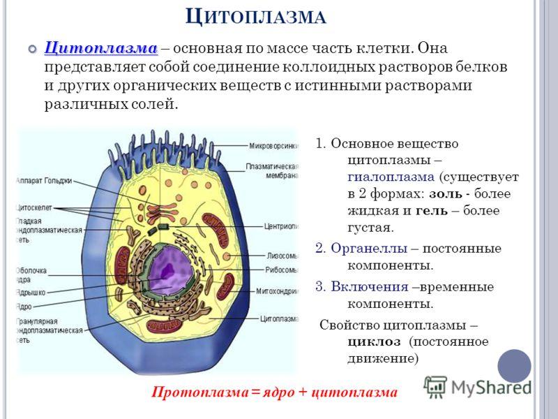 Ц ИТОПЛАЗМА Цитоплазма Цитоплазма – основная по массе часть клетки. Она представляет собой соединение коллоидных растворов белков и других органических веществ с истинными растворами различных солей. 1. Основное вещество цитоплазмы – гиалоплазма (сущ