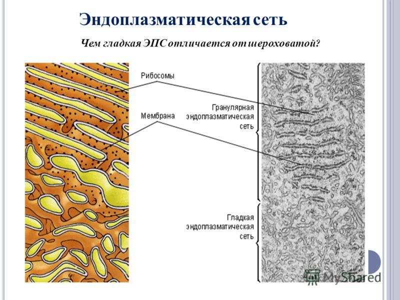 Эндоплазматическая сеть Чем гладкая ЭПС отличается от шероховатой ?
