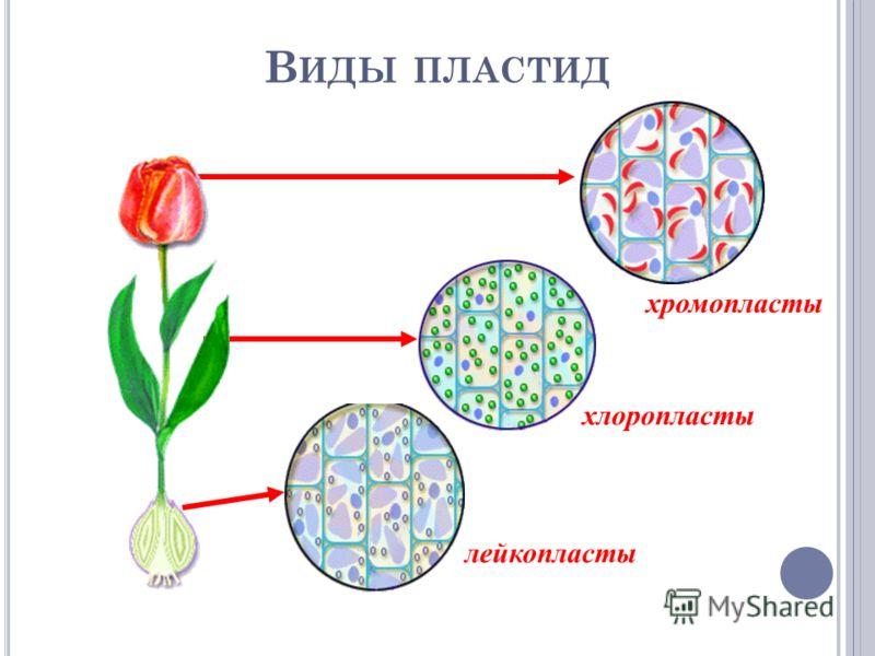 В ИДЫ ПЛАСТИД лейкопласты хлоропласты хромопласты