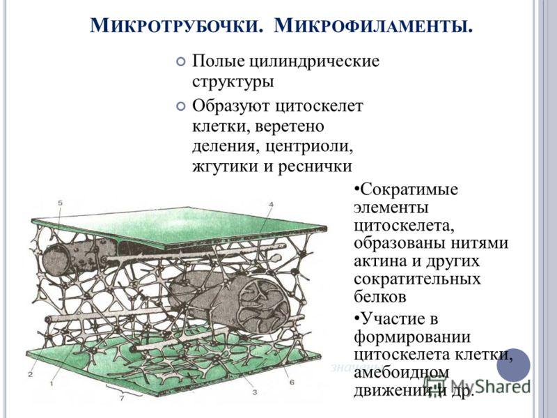 М ИКРОТРУБОЧКИ. М ИКРОФИЛАМЕНТЫ. Полые цилиндрические структуры Образуют цитоскелет клетки, веретено деления, центриоли, жгутики и реснички Микротрубочки обозначены зеленым цветом Сократимые элементы цитоскелета, образованы нитями актина и других сок