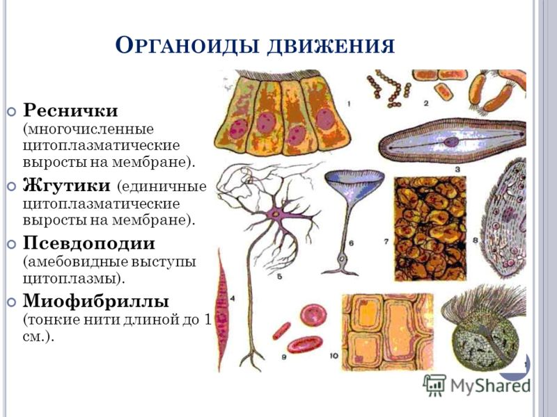 О РГАНОИДЫ ДВИЖЕНИЯ Реснички (многочисленные цитоплазматические выросты на мембране). Жгутики (единичные цитоплазматические выросты на мембране). Псевдоподии (амебовидные выступы цитоплазмы). Миофибриллы (тонкие нити длиной до 1 см.).