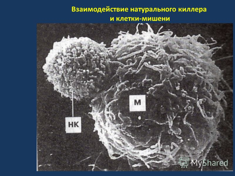 Взаимодействие натурального киллера и клетки-мишени