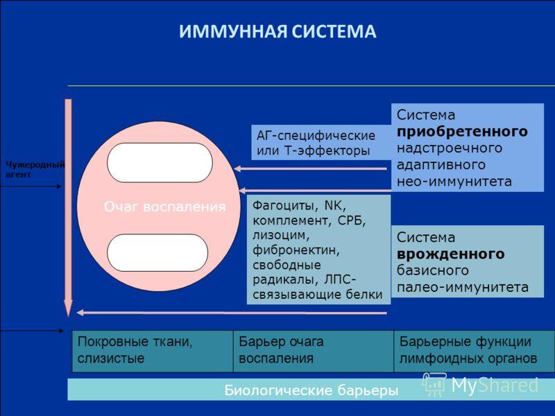 ИММУННАЯ СИСТЕМА Минуты-часы 3-4 сут.-1 мес. Система приобретенного надстроечного адаптивного нео-иммунитета Система врожденного базисного палео-иммунитета АГ-специфические или Т-эффекторы Фагоциты, NK, комплемент, СРБ, лизоцим, фибронектин, свободны
