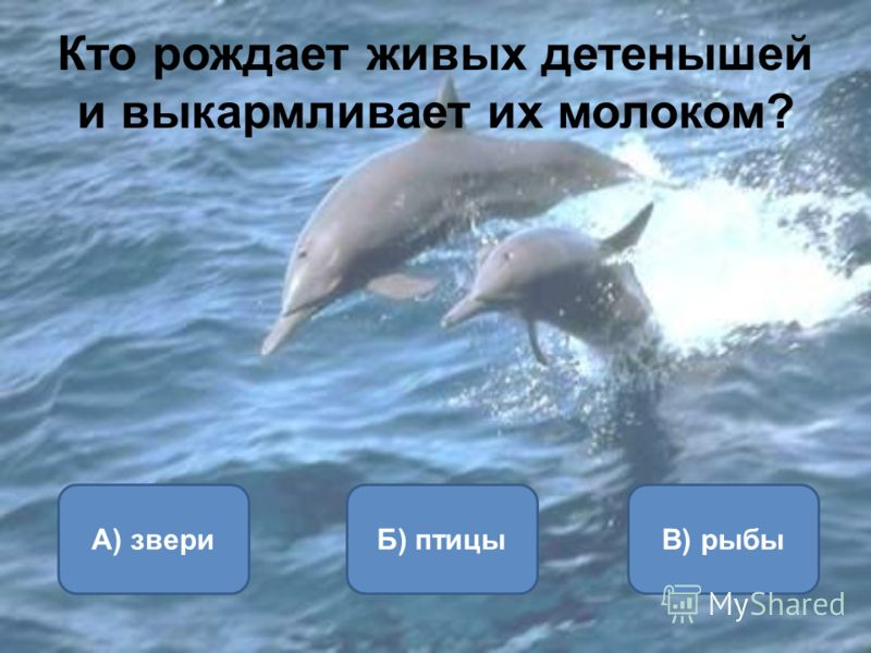 Кто рождает живых детенышей и выкармливает их молоком? А) звериБ) птицыВ) рыбы