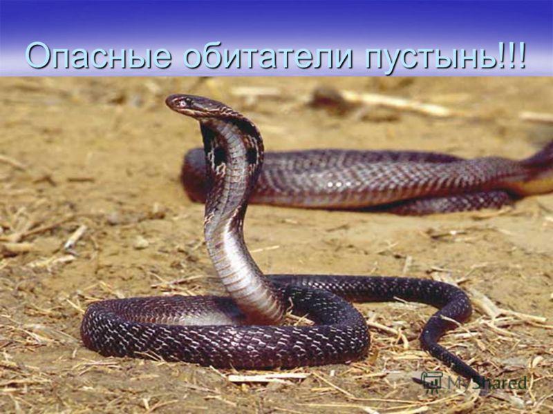 Опасные обитатели пустынь!!! Локомоция. Принято считать, что змеи очень быстро ползают, но внимательные наблюдения доказывают обратное. Хорошая скорость для крупной змеи примерно такая же, как у пешехода, а большинство видов передвигаются медленнее.