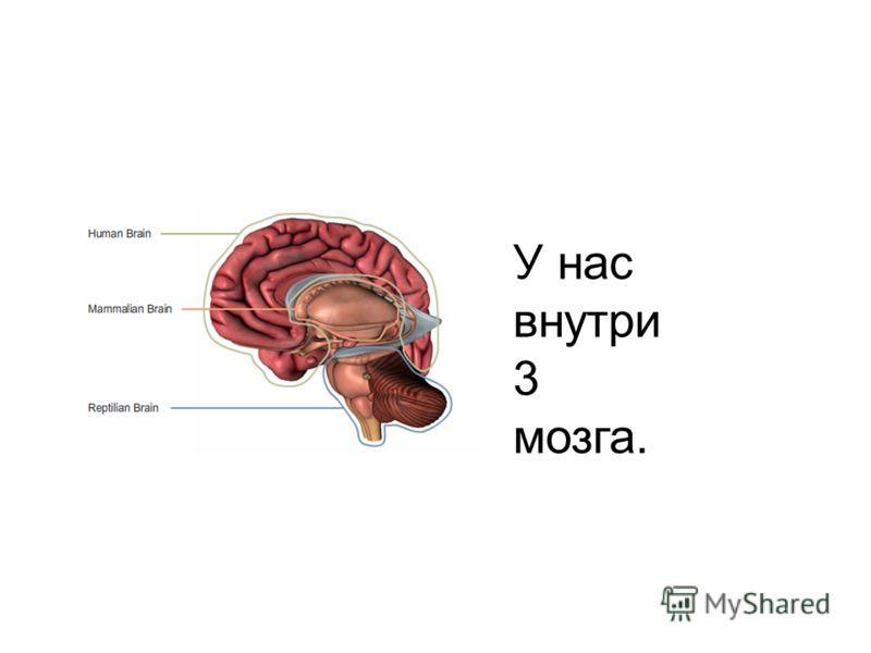 У нас внутри 3 мозга.