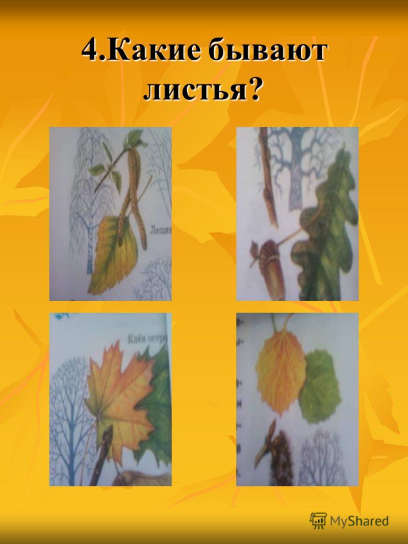 4.Какие бывают листья?