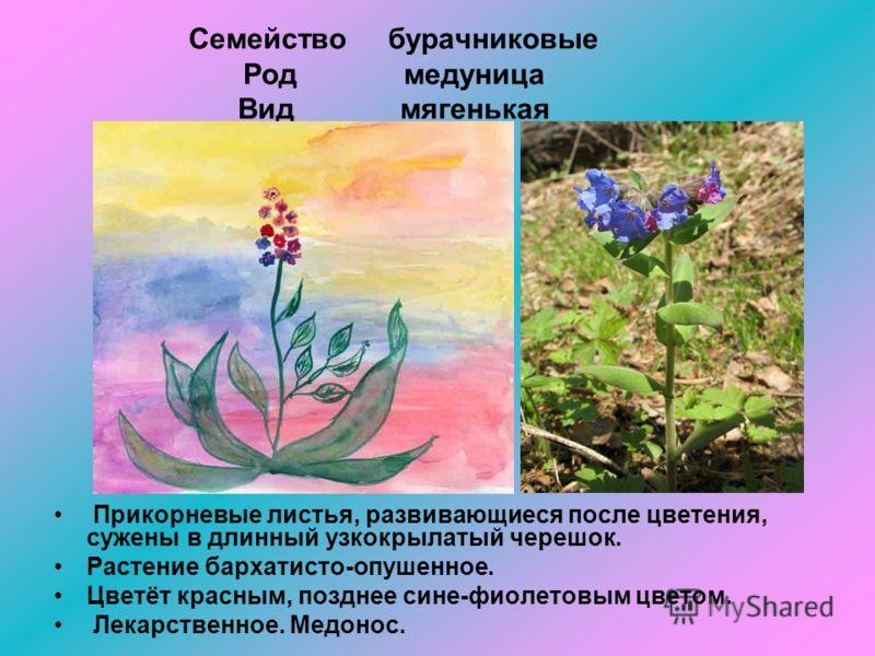 Семейство бурачниковые Род медуница Вид мягенькая Прикорневые листья, развивающиеся после цветения, сужены в длинный узкокрылатый черешок. Растение бархатисто-опушенное. Цветёт красным, позднее сине-фиолетовым цветом. Лекарственное. Медонос.