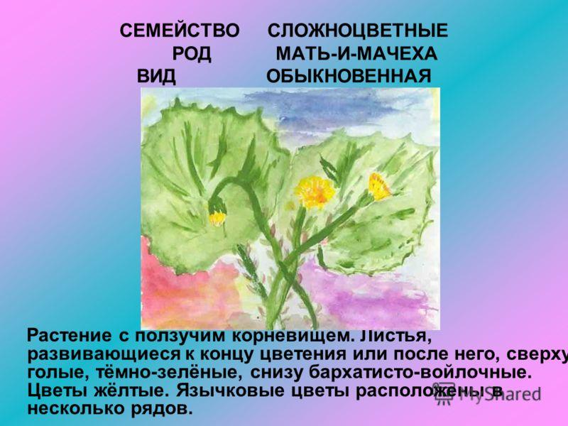 СЕМЕЙСТВО СЛОЖНОЦВЕТНЫЕ РОД МАТЬ-И-МАЧЕХА ВИД ОБЫКНОВЕННАЯ Растение с ползучим корневищем. Листья, развивающиеся к концу цветения или после него, сверху голые, тёмно-зелёные, снизу бархатисто-войлочные. Цветы жёлтые. Язычковые цветы расположены в нес