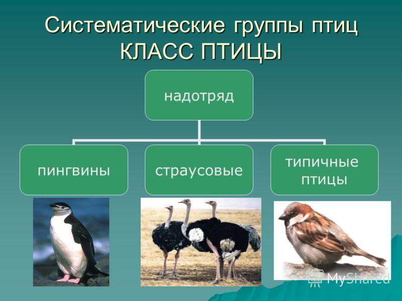 Систематические группы птиц КЛАСС ПТИЦЫ надотряд пингвиныстраусовые типичные птицы
