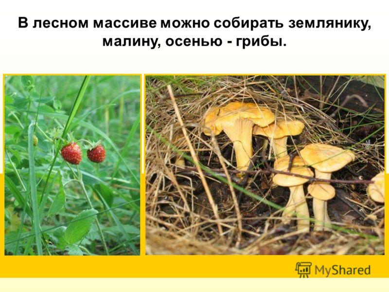 В лесном массиве можно собирать землянику, малину, осенью - грибы.