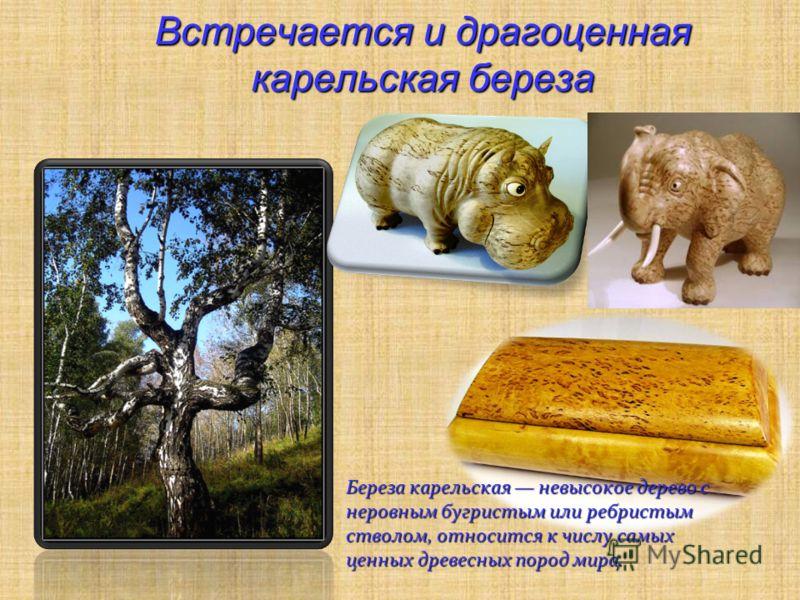 Встречается и драгоценная карельская береза Береза карельская невысокое дерево с неровным бугристым или ребристым стволом, относится к числу самых ценных древесных пород мира.