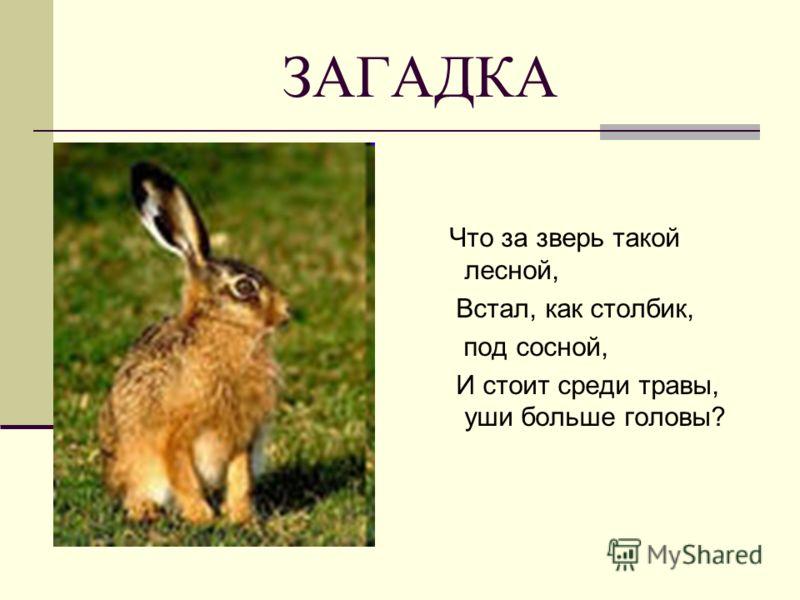 ЗАГАДКА Что за зверь такой лесной, Встал, как столбик, под сосной, И стоит среди травы, уши больше головы?