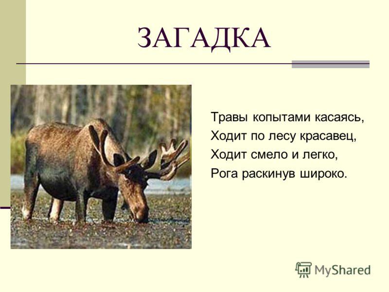 ЗАГАДКА Травы копытами касаясь, Ходит по лесу красавец, Ходит смело и легко, Рога раскинув широко.