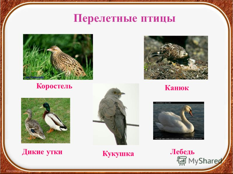 Перелетные птицы Коростель Кукушка Дикие уткиЛебедь Канюк