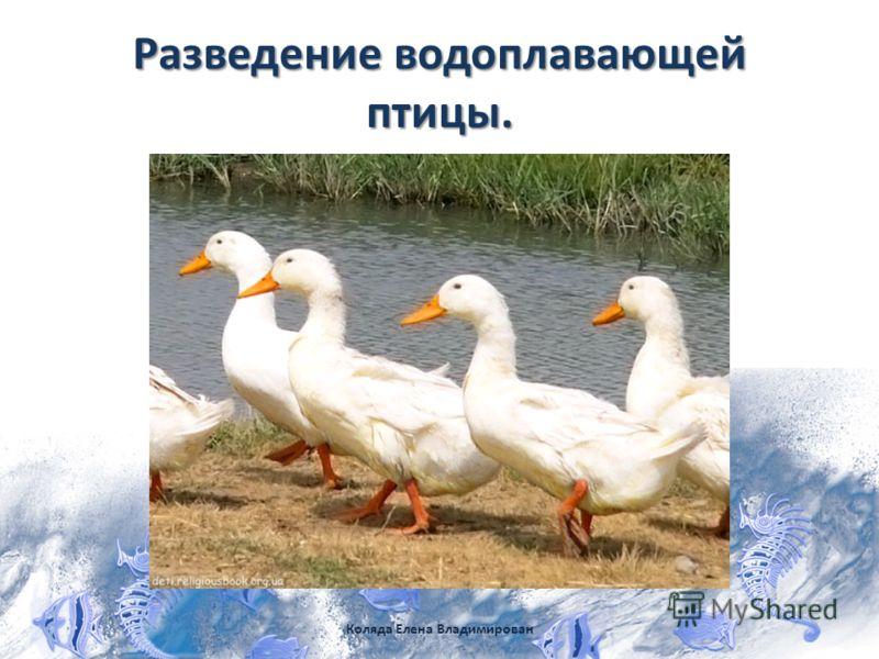 Разведение водоплавающей птицы. Коляда Елена Владимирован