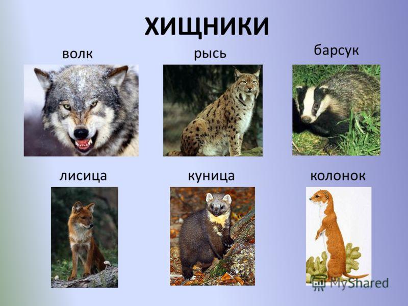 ХИЩНИКИ волк барсук лисицакуницаколонок рысь
