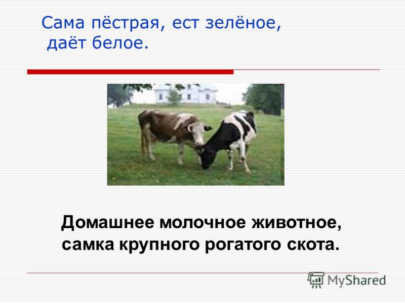 Сама пёстрая, ест зелёное, даёт белое. Домашнее молочное животное, самка крупного рогатого скота.