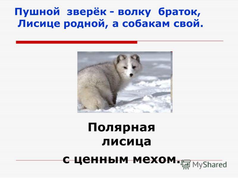 Пушной зверёк - волку браток, Лисице родной, а собакам свой. Полярная лисица с ценным мехом.