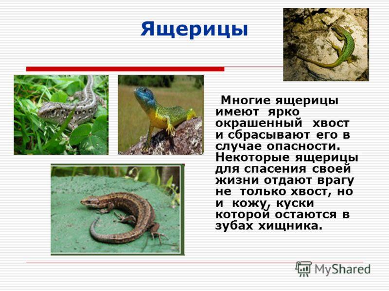 Ящерицы Многие ящерицы имеют ярко окрашенный хвост и сбрасывают его в случае опасности. Некоторые ящерицы для спасения своей жизни отдают врагу не только хвост, но и кожу, куски которой остаются в зубах хищника.
