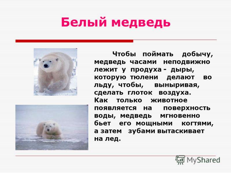 Белый медведь Чтобы поймать добычу, медведь часами неподвижно лежит у продуха - дыры, которую тюлени делают во льду, чтобы, выныривая, сделать глоток воздуха. Как только животное появляется на поверхность воды, медведь мгновенно бьет его мощными когт