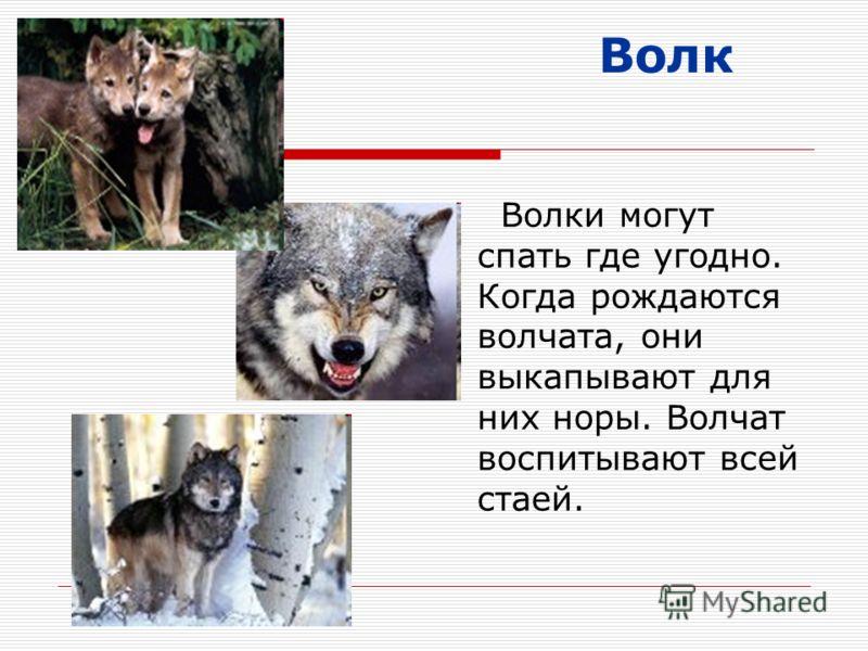 Волк Волки могут спать где угодно. Когда рождаются волчата, они выкапывают для них норы. Волчат воспитывают всей стаей.