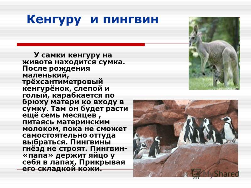 Кенгуру и пингвин У самки кенгуру на животе находится сумка. После рождения маленький, трёхсантиметровый кенгурёнок, слепой и голый, карабкается по брюху матери ко входу в сумку. Там он будет расти ещё семь месяцев, питаясь материнским молоком, пока