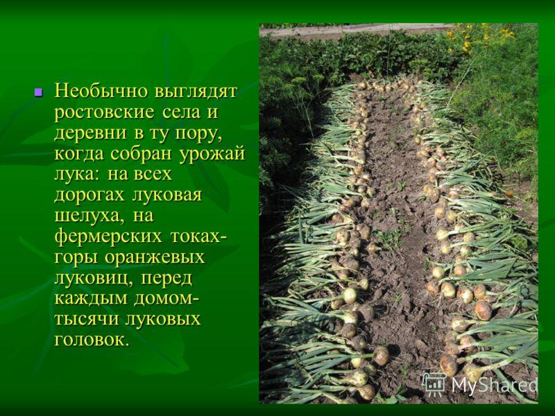 Необычно выглядят ростовские села и деревни в ту пору, когда собран урожай лука: на всех дорогах луковая шелуха, на фермерских токах- горы оранжевых луковиц, перед каждым домом- тысячи луковых головок. Необычно выглядят ростовские села и деревни в ту