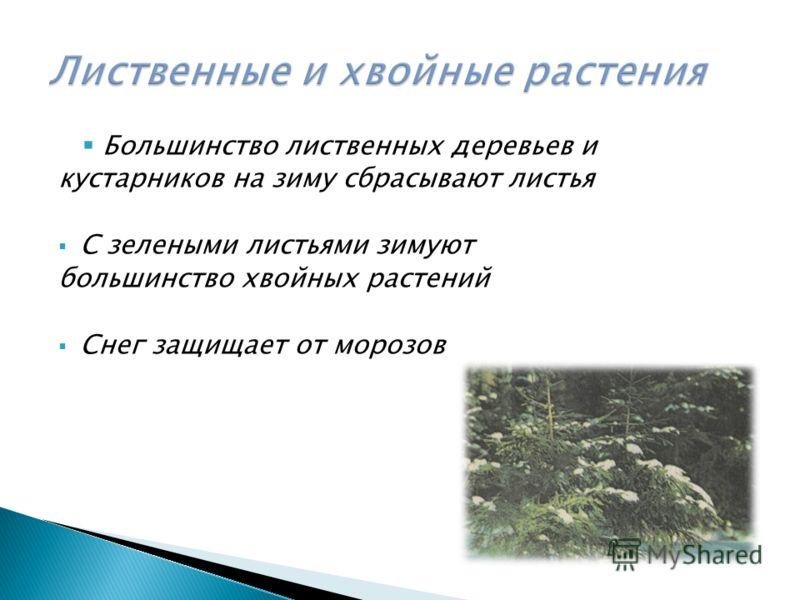 Большинство лиственных деревьев и кустарников на зиму сбрасывают листья С зелеными листьями зимуют большинство хвойных растений Снег защищает от морозов