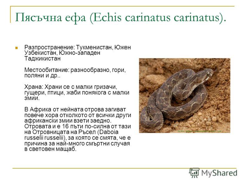Пясъчна ефа (Echis carinatus carinatus). Разпространение: Тукменистан, Южен Узбекистан, Южно-западен Таджикистан Местообитание: разнообразно, гори, поляни и др.. Храна: Храни се с малки гризачи, гущери, птици, жаби понякога с малки змии. В Африка от