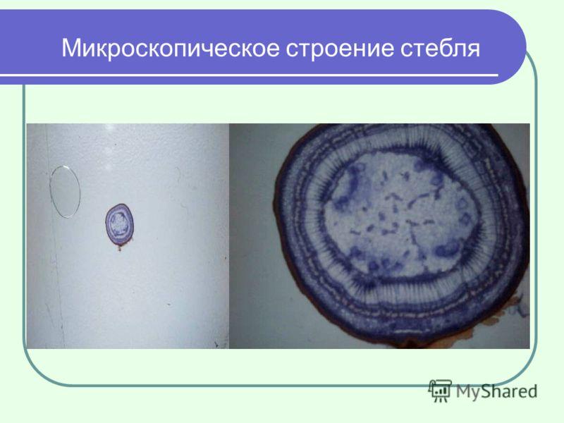 Микроскопическое строение стебля