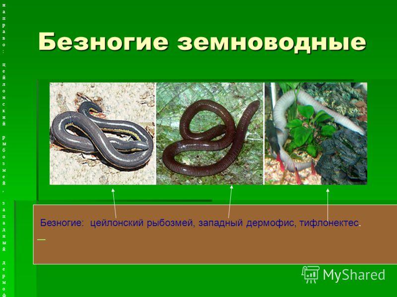 Безногие земноводные Рисунок 6.4.4.1. Безногие. Слева направо: цейлонский рыбозмей, западный дермофис, тифлонектес. Рисунок 6.4.4.1. Безногие. Слева направо: цейлонский рыбозмей, западный дермофис, тифлонектес. Безногие: цейлонский рыбозмей, западный