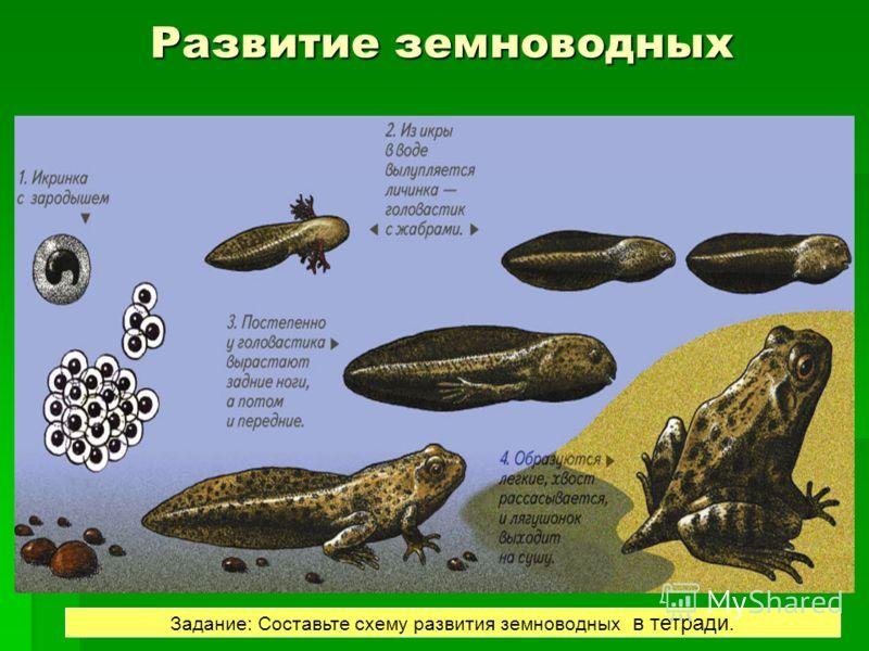 РАЗВИТИЕ Развитие лягушки