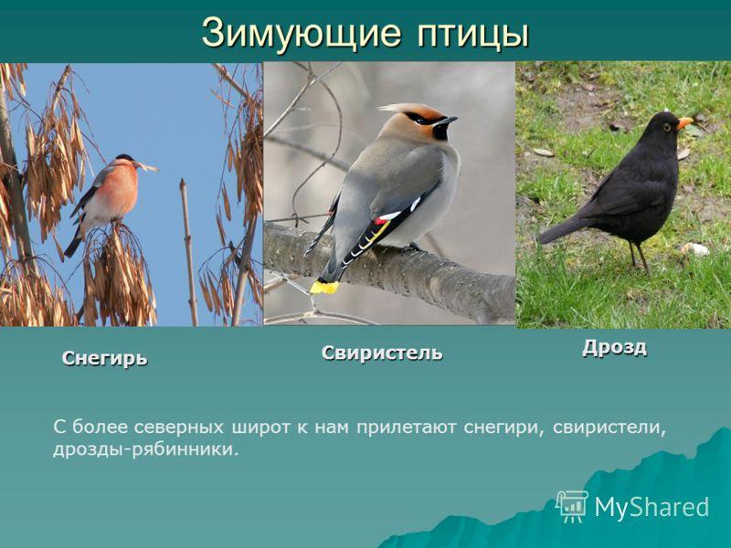 Зимующие птицы В Татарстане обитает более 200 видов птиц, что составляет треть пернатой фауны страны. Из них в городе остаются зимовать воробьи, голуби, сороки, вороны, синицы.