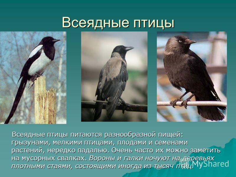 Зимующие птицы С более северных широт к нам прилетают снегири, свиристели, дрозды-рябинники. Снегирь Свиристель Дрозд Дрозд