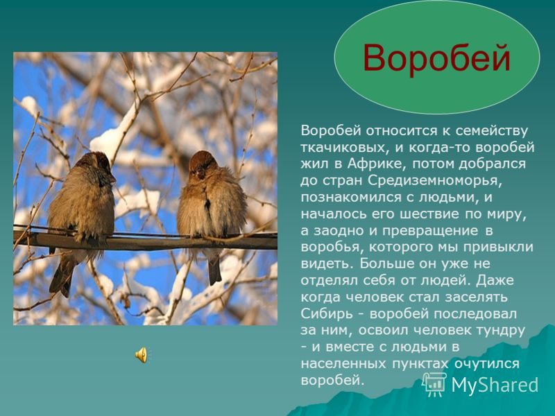 Голубь Голубь широко распространённая птица семейства голубиных, родиной которой считаются Европа, Юго- Западная Азия и Северная Африка. Ещё в глубокой древности эти птицы были приручены человеком, в результате были выведены так называемые домашние г