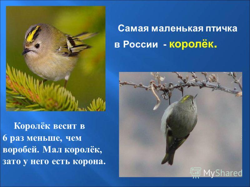 Самая маленькая птичка в России - королёк. Королёк весит в 6 раз меньше, чем воробей. Мал королёк, зато у него есть корона.
