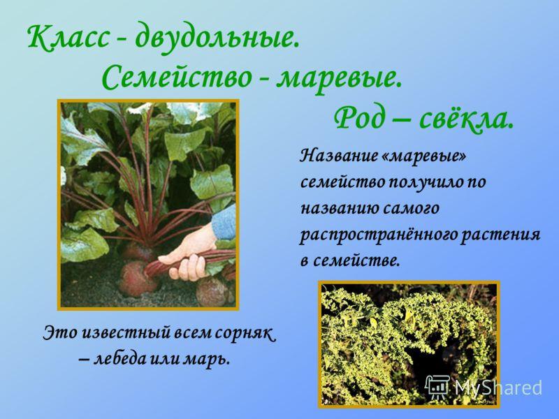 Класс - двудольные. Семейство - маревые. Род – свёкла. Это известный всем сорняк – лебеда или марь. Название «маревые» семейство получило по названию самого распространённого растения в семействе.