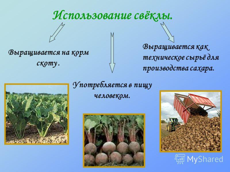 Использование свёклы. Употребляется в пищу человеком. Выращивается на корм скоту. Выращивается как техническое сырьё для производства сахара.
