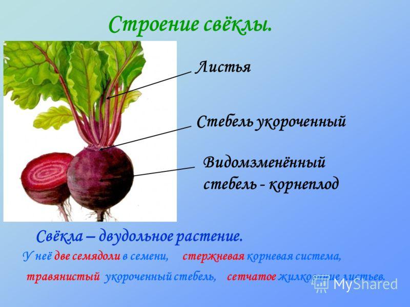 Строение свёклы. Свёкла – двудольное растение. У неё две семядоли в семени, травянистый укороченный стебель,сетчатое жилкование листьев. стержневая корневая система, Листья Стебель укороченный Видомзменённый стебель - корнеплод
