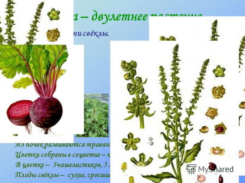 Свёкла – двулетнее растение. Из почек развиваются травянистые стебли с листьями и цветками. В цветке – 5чашелистиков, 5 лепестков венчика, 5 тычинок, 1 пестик. Цветки собраны в соцветие – кисть. Плоды свёклы – сухие, сросшиеся в клубочки орешки. Перв