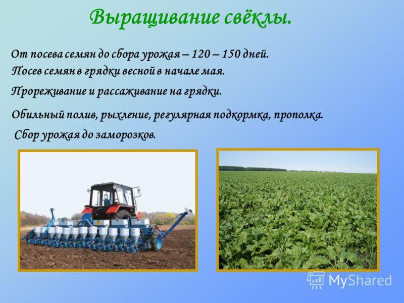Выращивание свёклы. От посева семян до сбора урожая – 120 – 150 дней. Посев семян в грядки весной в начале мая. Прореживание и рассаживание на грядки. Обильный полив, рыхление, регулярная подкормка, прополка. Сбор урожая до заморозков.
