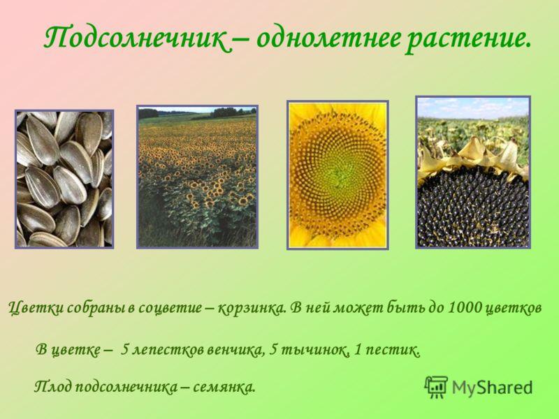 Подсолнечник – однолетнее растение. В цветке – 5 лепестков венчика, 5 тычинок, 1 пестик. Цветки собраны в соцветие – корзинка. В ней может быть до 1000 цветков Плод подсолнечника – семянка.