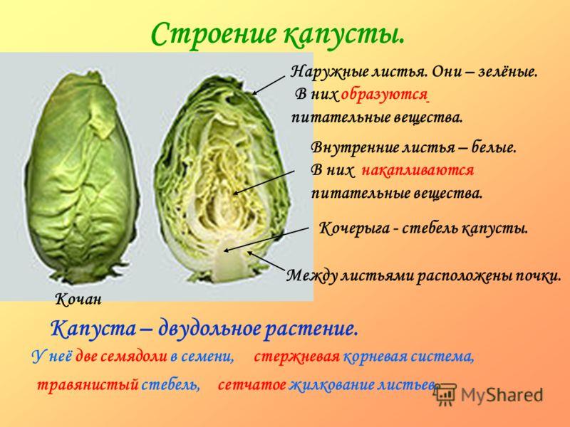 Строение капусты. Кочан Наружные листья. Они – зелёные. В них образуются питательные вещества. Внутренние листья – белые. В них накапливаются питательные вещества. Кочерыга - стебель капусты. Между листьями расположены почки. Капуста – двудольное рас