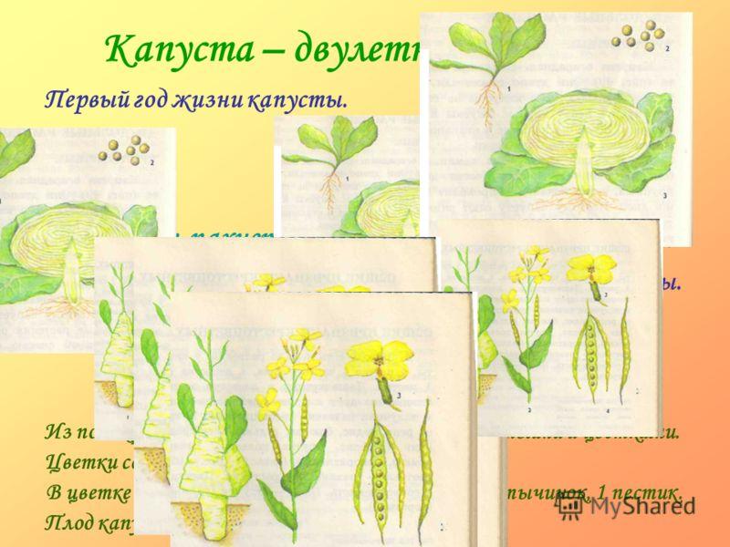 Сентябрь пахнет яблоками, а октябрь капустой. Капуста – двулетнее растение. Из почек развиваются травянистые стебли с листьями и цветками. В цветке – 4 чашелистика, 4 лепестка венчика, 6 тычинок, 1 пестик. Цветки собраны в соцветие – кисть. Плод капу