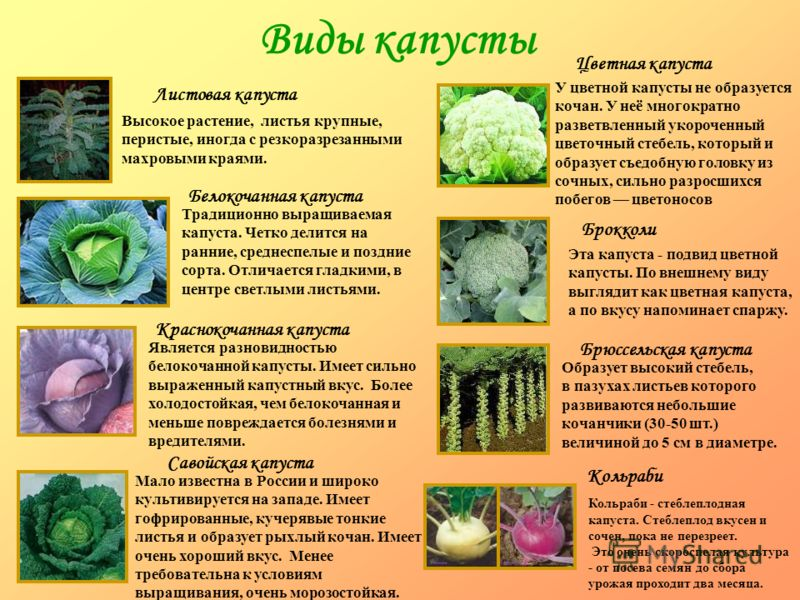 Виды капусты брокколи