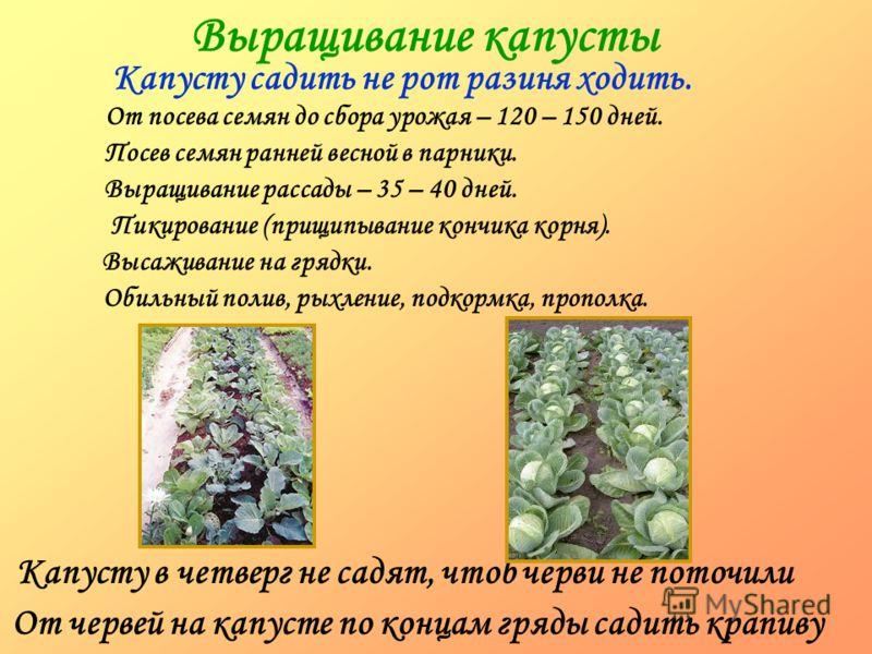 Выращивание капусты Капусту садить не рот разиня ходить. Капусту в четверг не садят, чтоб черви не поточили От червей на капусте по концам гряды садить крапиву От посева семян до сбора урожая – 120 – 150 дней. Посев семян ранней весной в парники. Выр