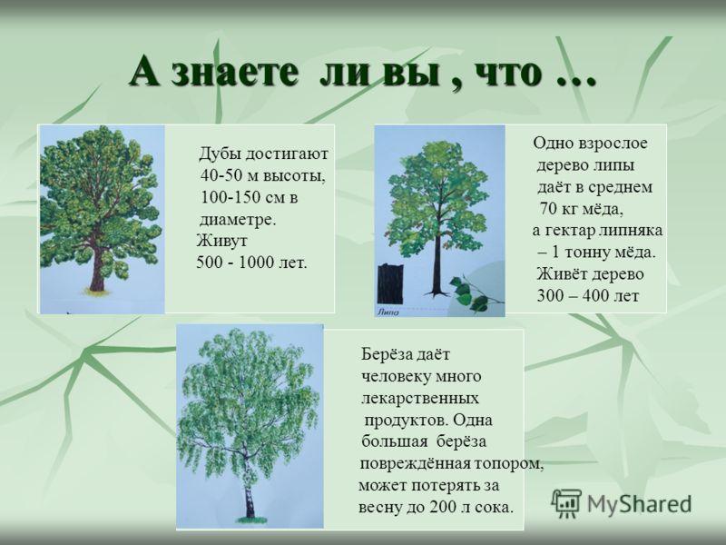 А знаете ли вы, что … Дубы достигают 40-50 м высоты, 100-150 см в диаметре. Живут 500 - 1000 лет. Берёза даёт человеку много лекарственных продуктов. Одна большая берёза повреждённая топором, может потерять за весну до 200 л сока. Одно взрослое дерев