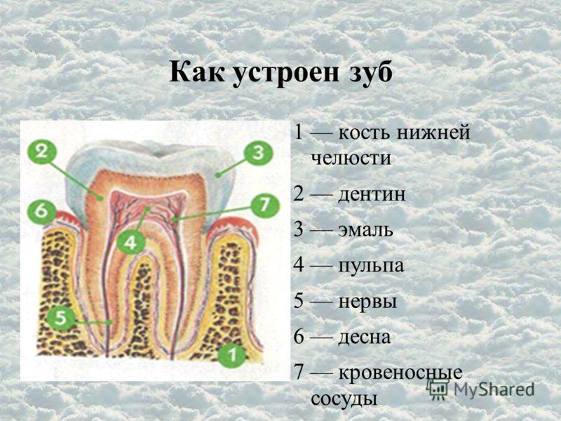 Как устроен зуб 1 кость нижней челюсти 2 дентин 3 эмаль 4 пульпа 5 нервы 6 десна 7 кровеносные сосуды
